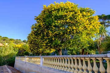 Vue sur la Terrasse avec des arbres de mimosa en fleurs, dans le village de Bormes les Mimosas, Provence, sud de France..