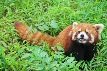 Firefox, the Red Panda in Chengdu, China.