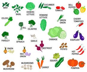 Set of different kinds of vegetables vector colored illustration
