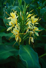 Long Leg Lantern Ginger Lily
