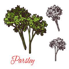 Parsley seasoning vector sketch plant icon