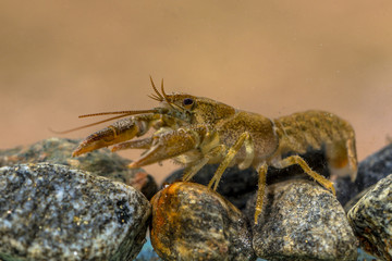 European crayfish on riverbed