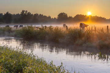 Cows in field on bank of Dinkel River at sunrise
