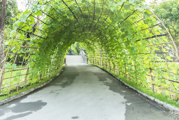 The tunnel is made of wood,Green ivy type vegetable garden.