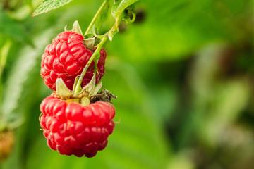 Two berries of a ripe raspberry closeup