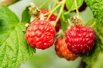 Raspberries in nature on the branches of a bush