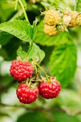 Beautiful ripe raspberry on a bush