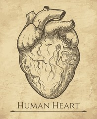Human heart sketch. Anatomical heart organ etching drawing, medical retro anatomic cardiac muscle engraving vector illustration