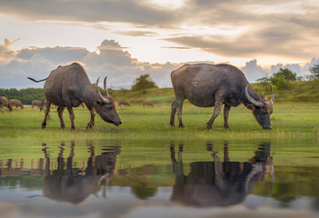 Buffalo in Thailand. Animals to work in the past. The elegance of the buffalo. Buffalo live naturally