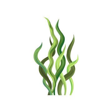 Underwater seaweed, aquatic marine algae plant vector Illustration