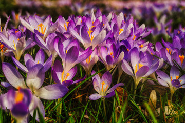 Wiese mit Krokusse im Frühling