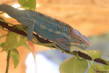 Pantherchamäleon (Furcifer pardalis) geht über Ast