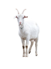 White goat . Isolated.