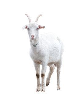 White goat . Isolated.