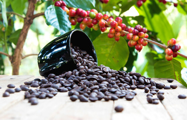 group of ripe and raw coffee berries on coffee tree branch and old wood table, cup of black coffee beans. selective focus
