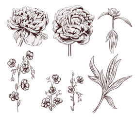 Set of peony, flax: brown monochrome flowers, bud, stems, leaves on white background. Botanical illustration for design, hand draw in engraving vintage style, etching, stamp for embossing, vector