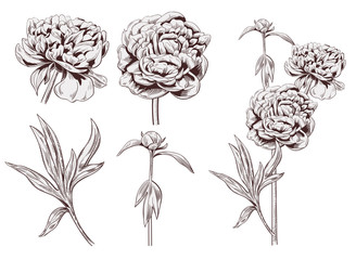 Set of peony: brown (sepia) monochrome flowers, bud, stems, leaves on white background. Botanical illustration for design, hand draw in engraving vintage style, etching, stamp for embossing, vector