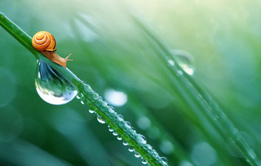 Beautiful large drop of water and lovely little snail in the grass in the morning, macro. Grass in  morning dew in the spring summer on a green background in nature with copy space.