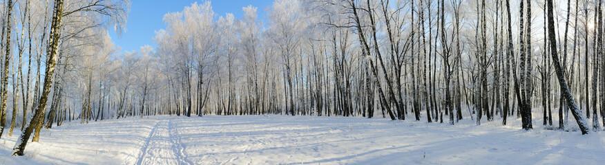 Birch grove in hoarfrost, picturesque winter landscape