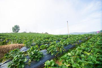 Green nature strawberry farm.