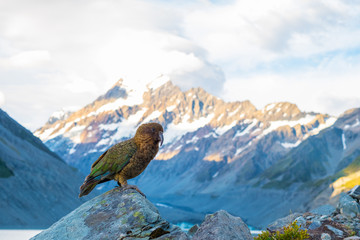 Kia Bird stand on the rock beside the glacier lake in Mt Cook National park, Hook Valley, South Island, New Zealand