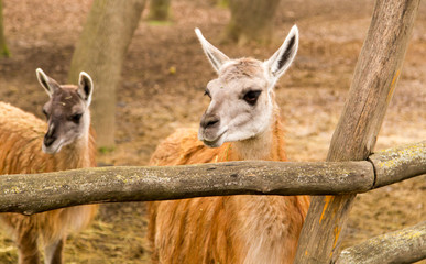 Portrait of a llama in a zoo