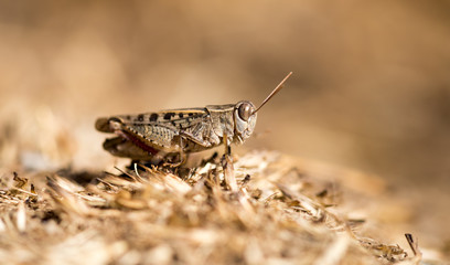 Grasshopper sits on the ground in wildlife