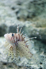 Lion fish are swimming in the coral reef.