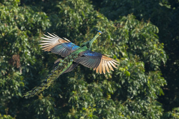 Peacock  flying in nature (Green peafowl)