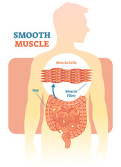 Smooth muscle vector illustration diagram, anatomical scheme with human gut.