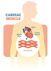 Cardiac muscle vector illustration diagram, anatomical scheme with human heart.