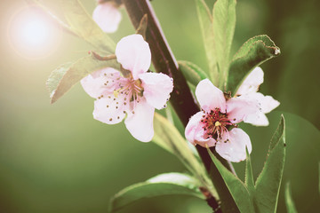 Spring. Nature blooms. Peach blossom. Flowering of the fetus.