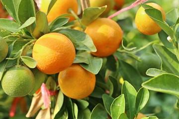 Orange tree in garden
