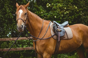 Thorough breed horse looking at camera