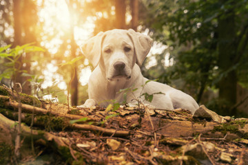 Dog in the forest at sunset - white labrador puppy