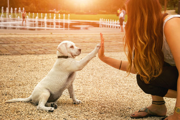 Cute young labrador retriever dog puppy and young woman give each other a High Five Handshake