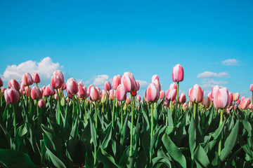 Tulpen gegen blauen Himmel