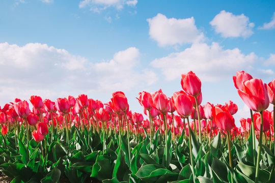 Tulpenfeld mit blauem Himmel