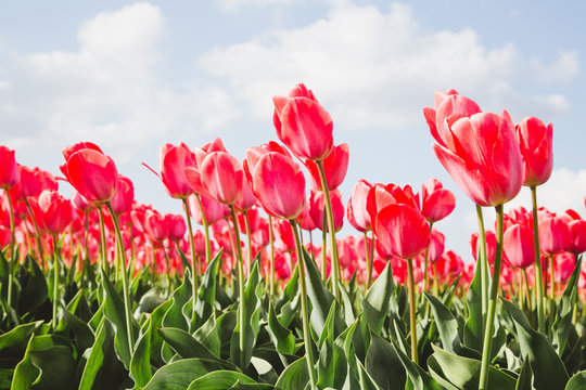 Rote Tulpen gegen blauen Himmel