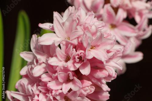fleurs de jacinthe en pot stock photo and royalty free. Black Bedroom Furniture Sets. Home Design Ideas