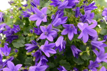 blue bellflowers (Campanula poscharskyana) on white isolated background