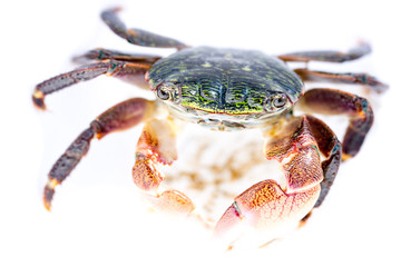 Colorful shore crab on white background