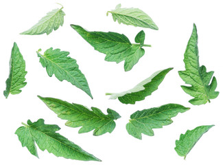 Collection tomato leaves on the white background.