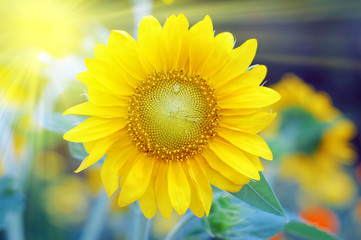 Sunflower with sun beaming light