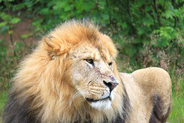 Löwe mit Narbe