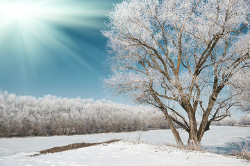 sun and tree in winter forest, blue sky and white snow, beautiful wild landscape
