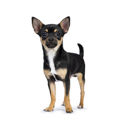 black chiwawa dog standing side ways looking at the camera isolated on white background