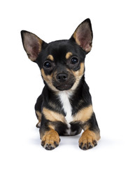 black chiwawa dog laying looking straight in to the lens isolated on white background