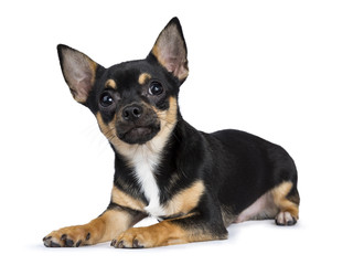 black chiwawa dog laying side ways looking in the camera with smiley face  isolated on white background