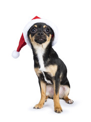 black chiwawa dog sitting wearing christmas hat looking at the camera isolated on white background
